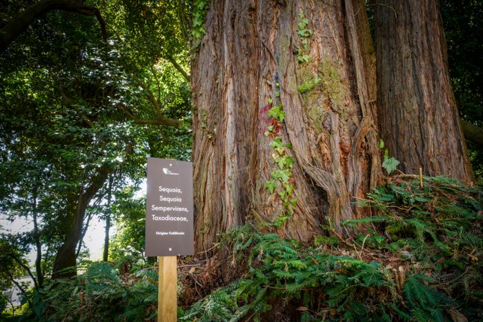 Parc naturel des Mont d'Ardèche, sequoia